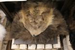 Ковер Медвежий без головы №1 - купить (заказать), узнать цену - Охотничий супермаркет Стрелец г. Екатеринбург