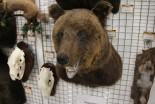 Чучело Медведя по грудь - купить (заказать), узнать цену - Охотничий супермаркет Стрелец г. Екатеринбург