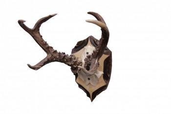Чучело рога косули на медальоне - купить (заказать), узнать цену - Охотничий супермаркет Стрелец г. Екатеринбург