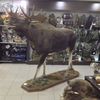Чучело Лося в полный рост - купить (заказать), узнать цену - Охотничий супермаркет Стрелец г. Екатеринбург