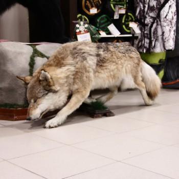 Чучело Волка - купить (заказать), узнать цену - Охотничий супермаркет Стрелец г. Екатеринбург