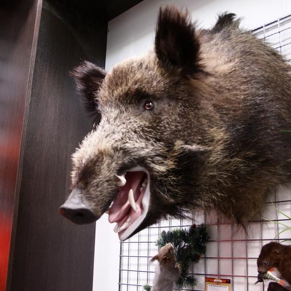 Чучело кабана (по грудь) с открытой пастью - купить (заказать), узнать цену - Охотничий супермаркет Стрелец г. Екатеринбург